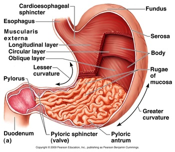 STEP THREE OF THE DIGESTIVE SYSTEM  the human digestive